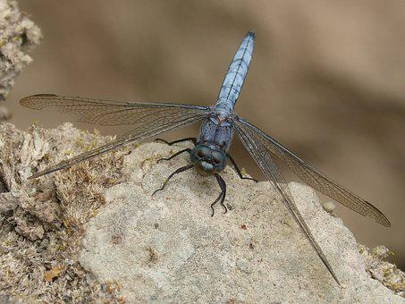 Blue Dragonfly, Rock, Wetland, Orthetrum Cancellatum