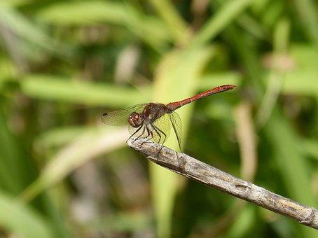 Dragonfly, Cane, Red Dragonfly, Sympetrum Striolatum