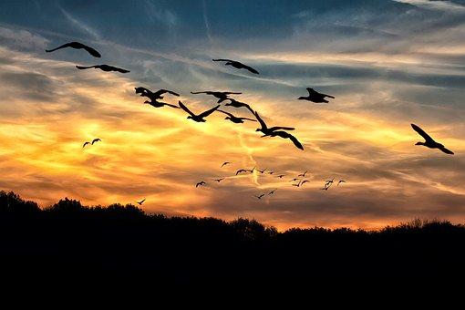 Geese, Sunset, Bright, Swarm, Wild Geese, Sky