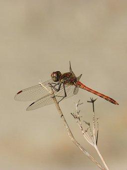 Dragonfly, Branch, Red Dragonfly, Sympetrum Striolatum
