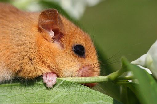 The Dormouse, Animal, Branch, Cute, Europe, Rainforest