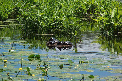Painted Turtles, Marsh, Turtle, Reptile, Nature, Water