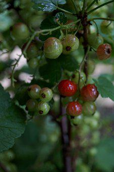 Currant, Fruit, Nature, Fruits, Red