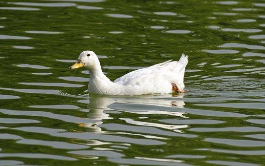 Goose, Bird, White, Female, Feathers, Beak, Wings