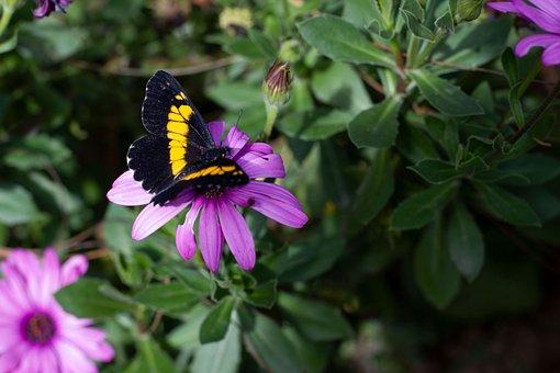 Butterfly, Itics, Guatemala, Quetzaltenango, Flowers