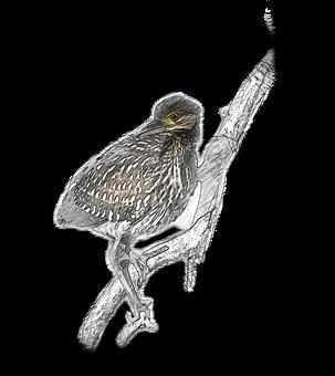 Nankeen Night-heron, Juvenile, Perch, Bird, Young