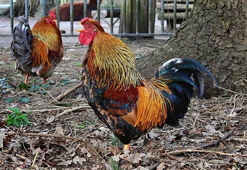 Rooster, Chicken, Bird, Animal, Poultry, Feather