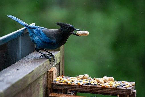 Sterling Jay, Bird, Feeding, Nature, Feather, Beak