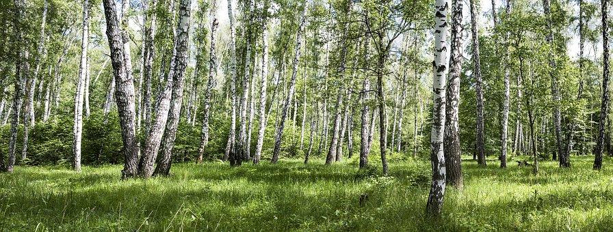 Birch, Forest, Grass, Sun, Sunny Day, Sky, Blue, Green