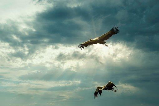 Cranes, Migratory Birds, Flock Of Birds, Flying