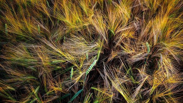 Grain, Cereals, Rye, Wheat, Straw, Summer, Food, Plant