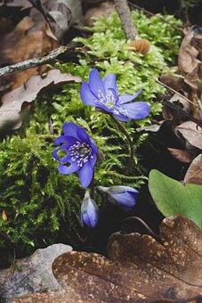 Hepatica Nobilis, Blue, Forest, Moss, Liverwort, Flower
