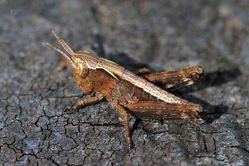 Grasshopper, Insect, Macro, Small, Nymph