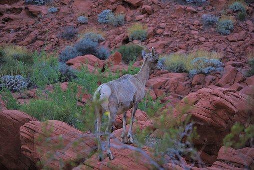 Bighorn, Bighorn Sheep, Dusk, Ram, Wildlife, Horns