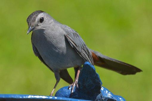 Nature, Wildlife, Bird, Closeup, Grey Catbird, Bokeh