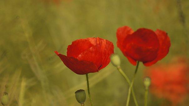 Poppy, Papaver, Field, Field Of Poppies, Wild Flowers