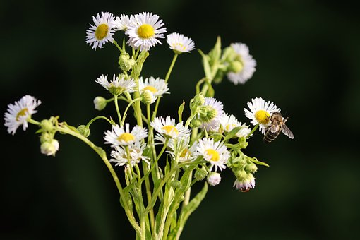 Fine Jet, Pointed Flower, Bee, Insect, White, Fleabane