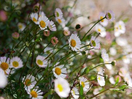 Fleabane, White, Pointed Flower, Spring