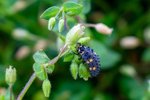 Larva, Ladybug, Seven-spot-ladybird-larva