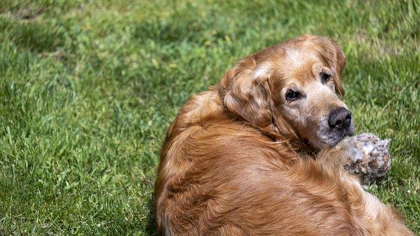 Dog, Golden Retriever, Male
