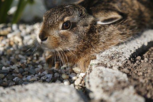 Hare, Meister Lampe, Wild Rabbit, Wild Animal