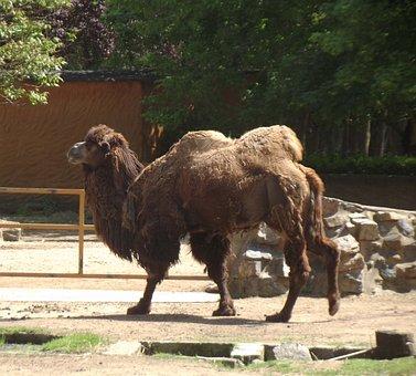 Camel, Asia, Africa, Dromedary, Zoo, Desert, Sand
