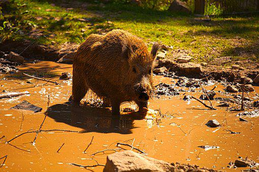 Boar, Nature, Animal, Zoo, Mammals