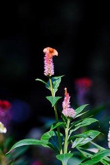 Cockscomb, Amaranthaceae, Flower, Bloom