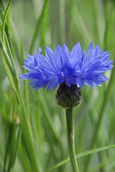 Cornflower, Blue, Meadow, Blossom, Bloom