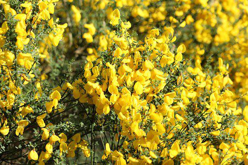 Broom, Yellow, Blossom, Bloom, Sun