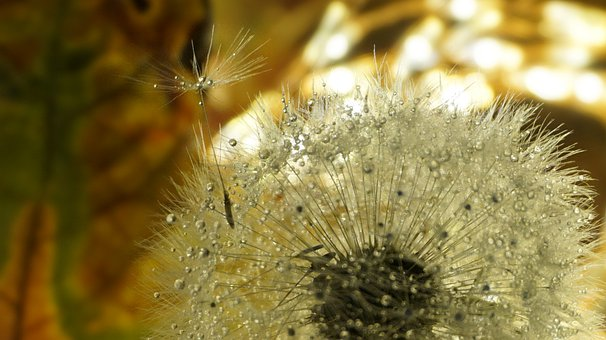 Dandelion, Nature, Light, Screen, Flying, Free, Robust