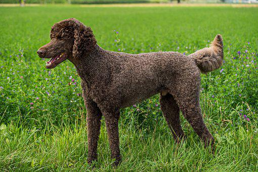 Dog, Poodle, King Poodle, Animal, Pet, Friend, Brown