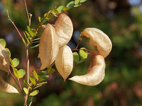 Popping Dudafürt, Colutea Arborescens L, Plant