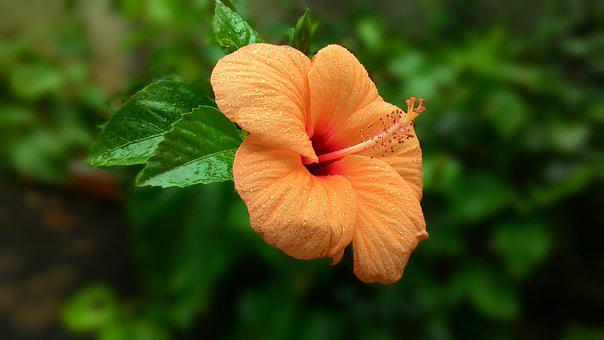 Orange Flower, Hibiscus, Flower, Blossom