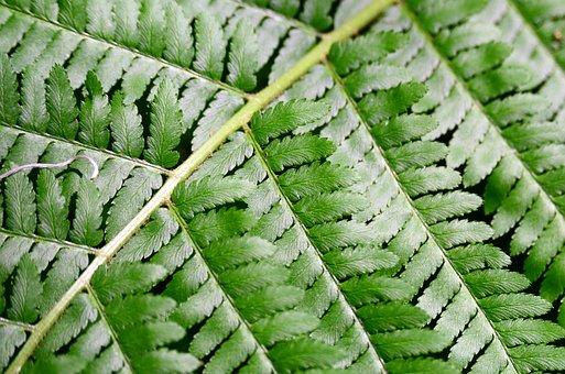 Fern, Woodfern, Green, Fiddlehead, Leaf