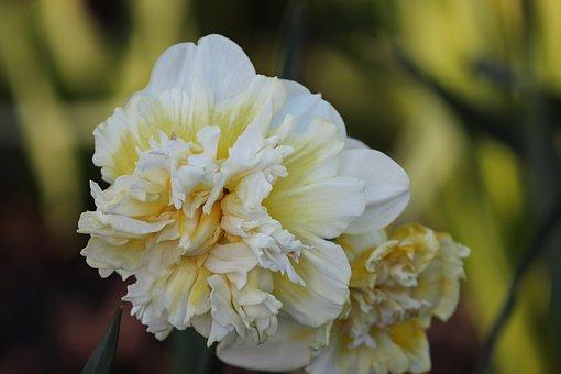 Narcissus, Filled Daffodil, White, Ostergloeckchen