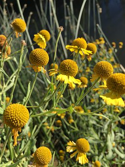 Wildflowers, Billy Balls, Yellow, Yellow Flowers