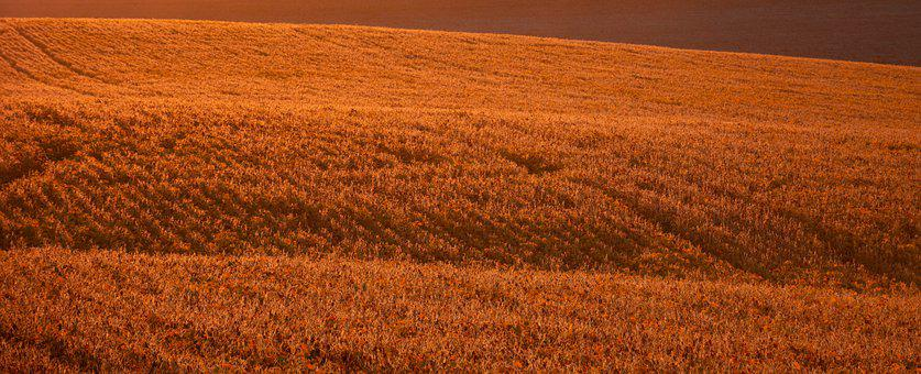 Field, Soy, Soybean, Nature, Agriculture, Crops