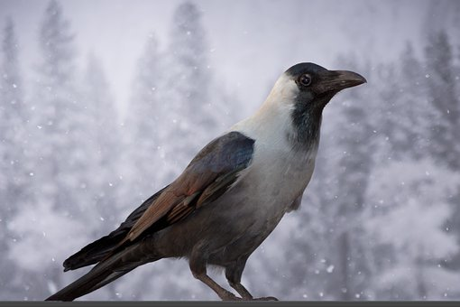 Animal, Trees, Crow, Nature, Snow, Grey, Jay, Outdoors