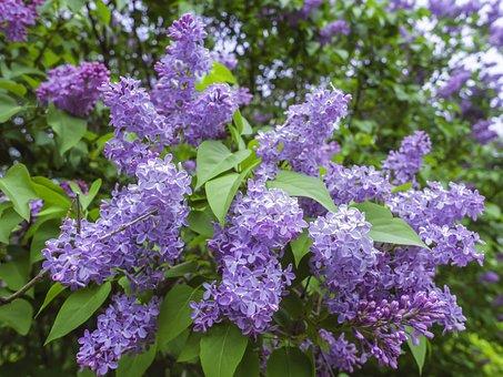 Lilac, Flowers, Branches, Syringa Vulgaris, Purple