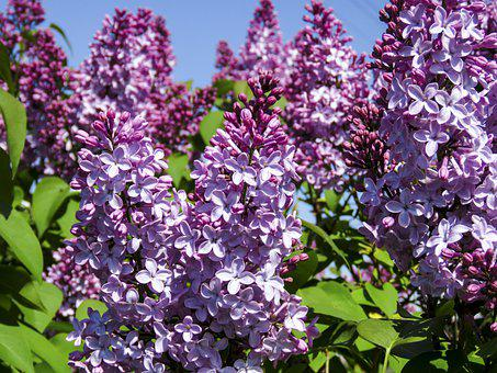 Lilac, Flowers, Bush, Purple, Garden, Bloom, Background