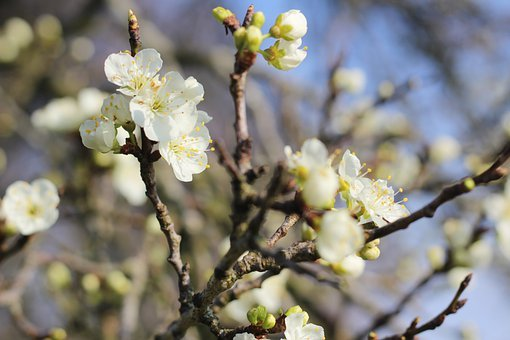 Spring, Spring Blossom, Damson, Damson Blossom, Flower