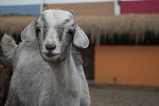 Goat, Farm, Mammal, Goats, Livestock, Animal, Meadow
