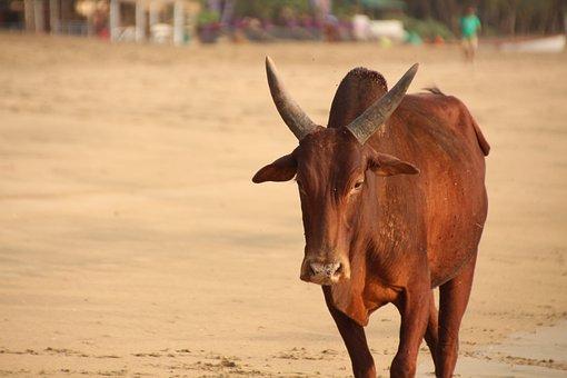 Bull, Cow, Beach, Goa, India, Cattle, Water, Sun