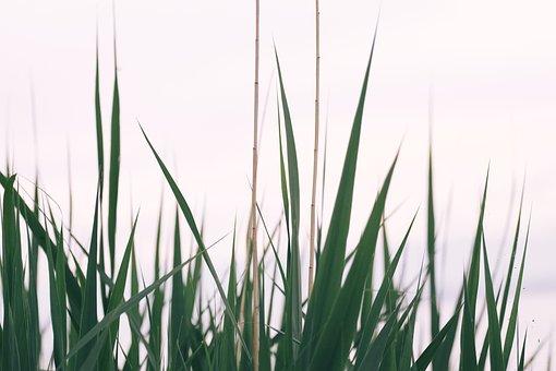Reed, Grass, Background, Lake, Water