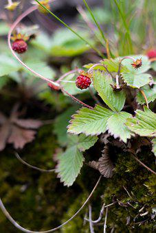 Berry, Red Berry, Wild Berry, Sweet, Leaves, Stalk, Eat