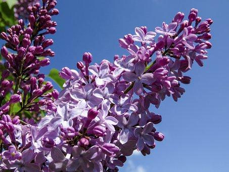 Lilac, Flowers, Garden, Purple, Bloom, Background