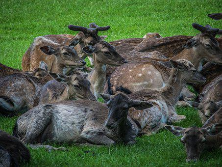 Herd, Fallow Deer, Park, Animal, Mammal, Antler