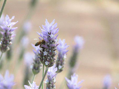 Bee, Flower, Garden, Plant, Summer, Purple, Nature
