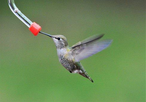 Annas Hummingbird, Bird, Nature, Wildlife, Animal, Anna